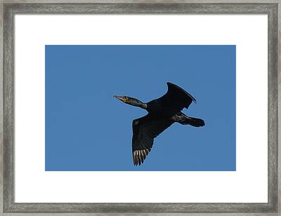 Double-crested Cormorant In Flight Framed Print