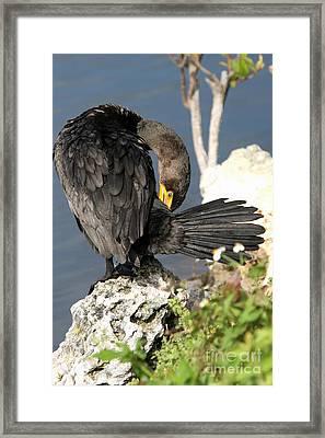 Cormorant Preens Framed Print