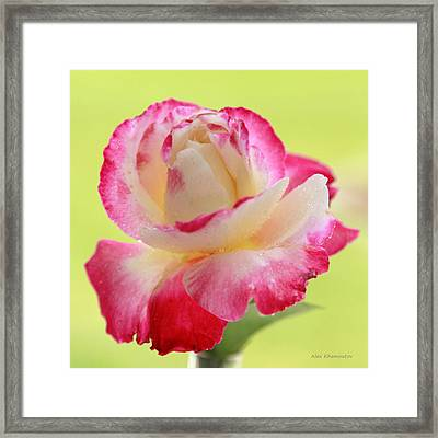Double Delight Red Rose To Fall In Love  Framed Print by Alex Khomoutov