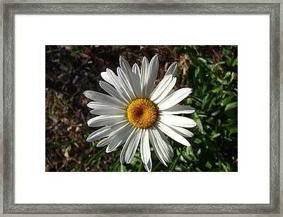 Double Down Daisy Framed Print