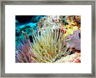 Double Giant Anemone And Arrow Crab Framed Print by Amy McDaniel