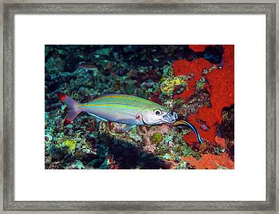 Double-lined Fusilier With Cleaner Wrasse Framed Print by Georgette Douwma/science Photo Library
