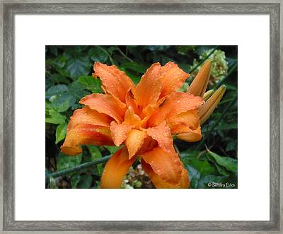 Double Orange Daylily Framed Print
