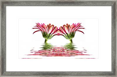 Double Pink Gerbera Flood Framed Print by Steve Purnell