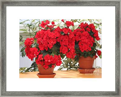 Double Red Begonias Framed Print by Mary Lou Chmura