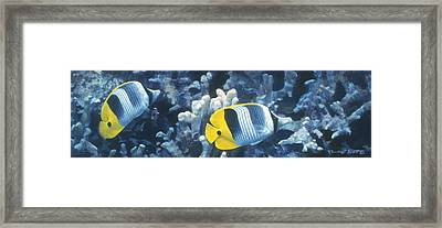 Double Saddleback Butterflyfish Framed Print by Randall Scott