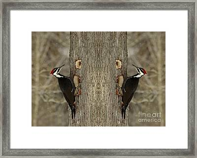 Double Trouble For A Cedar Tree- Pileated Woodpecker Framed Print