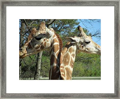 Giraffes With A Twist Framed Print