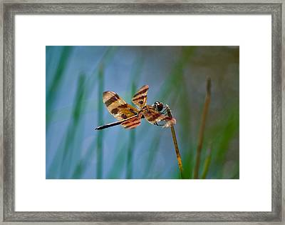 Double Wings Ins 79 Framed Print