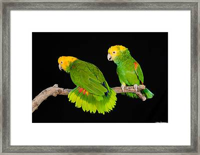 Double Yellow-headed Amazon Pair Framed Print