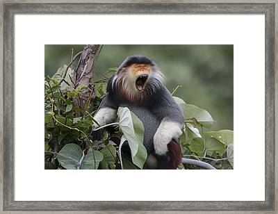 Douc Langur Male Yawning Vietnam Framed Print by Cyril Ruoso