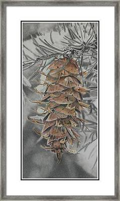 Douglas Fir Pine Cone Framed Print by Scott Kingery