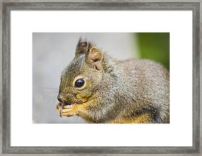 Douglas Squirrel  Framed Print