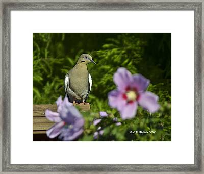 Dove And Althea Blossoms Framed Print by Allen Sheffield