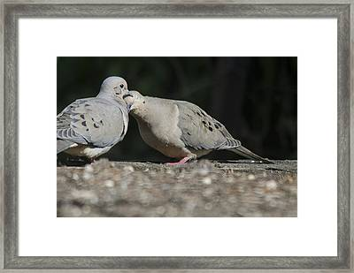 Dove Love Framed Print