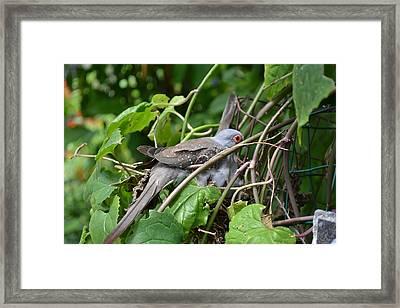 Dove Framed Print