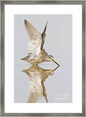 Dowitcher Wing Stretch Framed Print by Bryan Keil