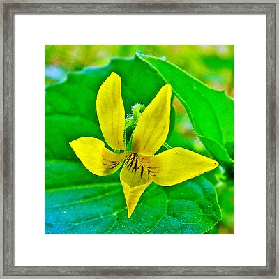 Downey Yellow Violet At Sweetwater Branch On Natchez Trace Parkway-tennessee  Framed Print by Ruth Hager
