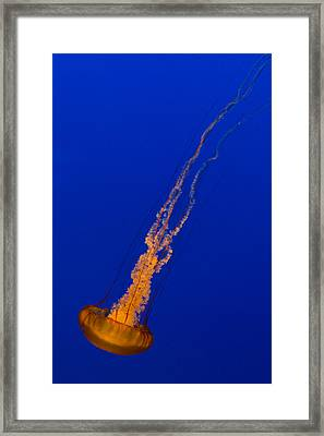 Downward Facing Pacific Sea Nettle 2 Framed Print by Scott Campbell