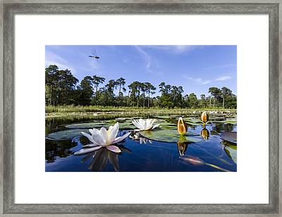 Downy Emerald Dragonfly Flying Over Lake Framed Print