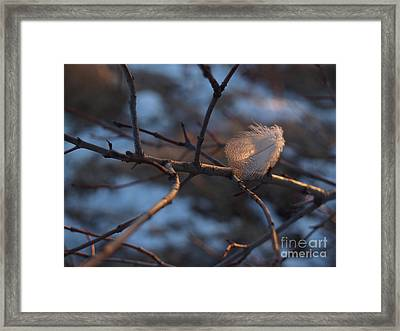 Downy Feather Backlit On Wintry Branch At Twilight Framed Print by Anna Lisa Yoder