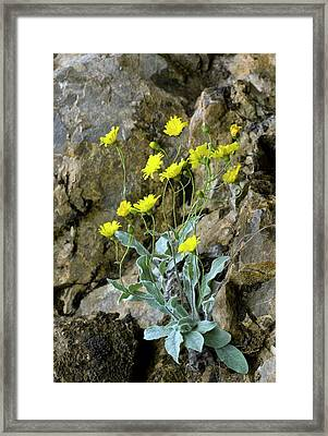 Downy Hawkweed (hieracium Lawsonii) Framed Print by Bob Gibbons