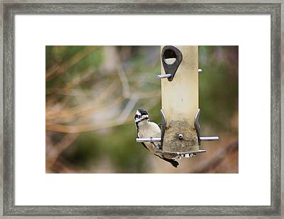 Downy  Framed Print by Kimberly Danner