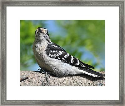 Downy Woodpecker 302 Framed Print