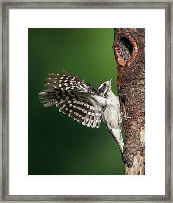 Downy Woodpecker Female Framed Print by Bill Wakeley