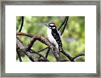 Downy Woodpecker Framed Print