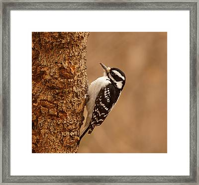Downy Woodpecker Framed Print by Sandy Keeton