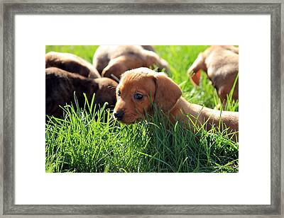 Doxies Framed Print by Velvetdawn Custer