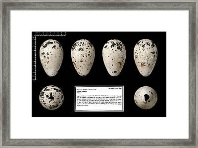 Dr Leach's '139' Great Auk Egg Framed Print