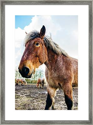 Draft Horse Portrait Framed Print by Pati Photography