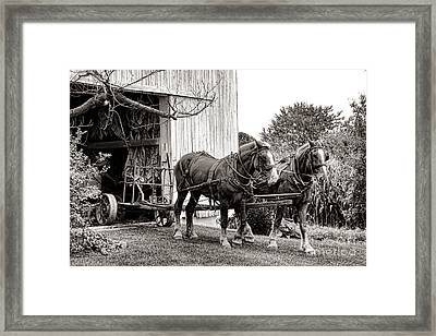 Draft Horses At Work Framed Print by Olivier Le Queinec