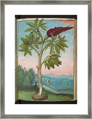 Dragon Arum (dracunculus Vulgaris) Framed Print