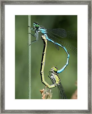 Framed Print featuring the photograph Dragon Fly by Leif Sohlman