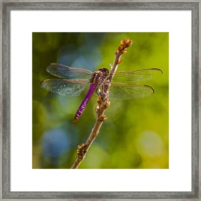Dragon Fly Or Not Framed Print by Scott Campbell