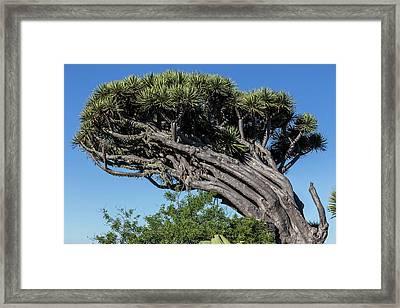 Dragon Tree Framed Print