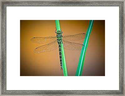 dragonfly Aeshna cyanea Framed Print by Dirk Ercken