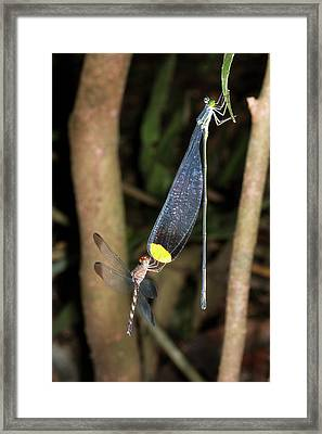 Dragonfly And Damselfly Roosting Framed Print by Dr Morley Read