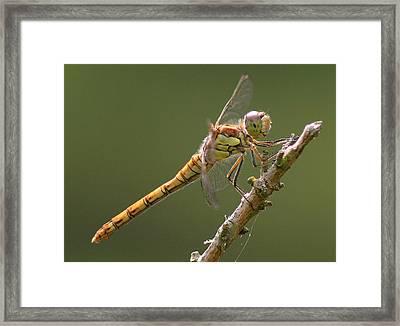 Dragonfly At Rest Framed Print by John Topman