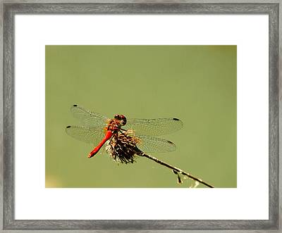 Dragonfly Framed Print by Balica  Marius