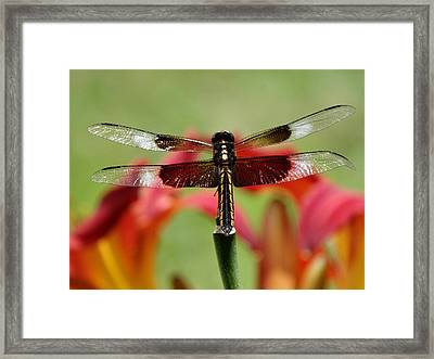 Dragonfly Beauty Framed Print by Rebecca Overton