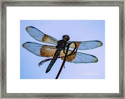 Dragonfly-blue Study Framed Print by Toma Caul