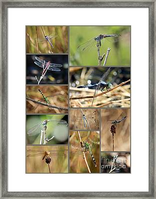 Dragonfly Collage Framed Print by Carol Groenen