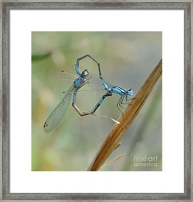 Dragonfly Courtship Framed Print by Amy Porter