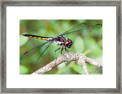 Dragonfly Framed Print by Dawna  Moore Photography