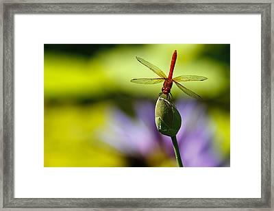 Dragonfly Display Framed Print