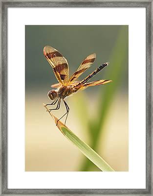 Dragonfly Dreams Framed Print